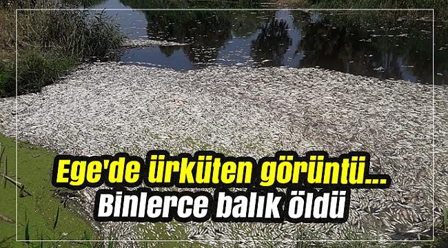 Ege'de ürküten görüntü... Binlerce balık öldü