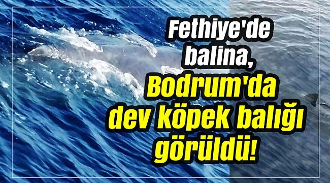 Fethiye'de balina, Bodrum'da dev köpek balığı görüldü