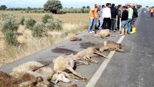 Yolcu otobüsünün çarptığı sürüden 65 hayvan telef oldu!
