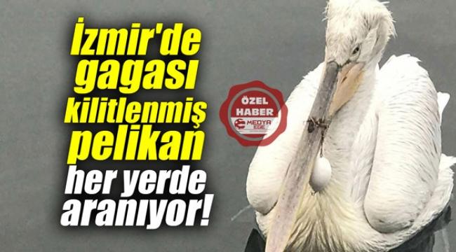 İzmir'de gagası kilitlenmiş pelikan her yerde aranıyor!