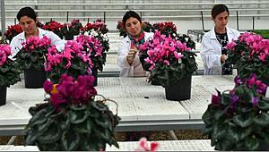 Bayındırlı çiçekçiler Hollanda için yenilebilen menekşe üretecek