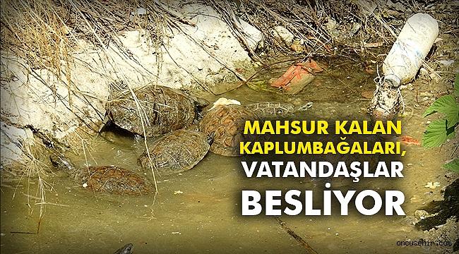 Mahsur kalan kaplumbağaları, vatandaşlar besliyor