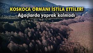 Koskoca ormanı istila ettiler! Ağaçlarda yaprak kalmadı