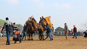 Ödemiş Konaklı deve güreşleri başlıyor