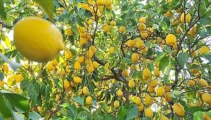 Kolonya yapımında kullanıldığı için limon ihracatı ön izne bağlandı
