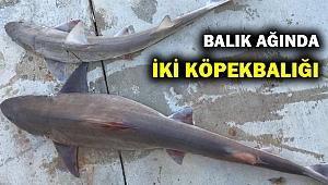 Bodrum'da balıkçı ağına iki köpek balığı takıldı