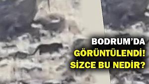 Gördüğüne inanamadı... Bodrum'da cinsi tanımlanamayan hayvan!