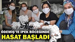 İzmir'deki ipek böceği yetiştiricilerinde ilk hasat heyecanı