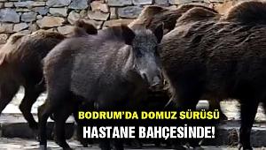 Bodrum Devlet Hastanesi bahçesinde domuz sürüsü...
