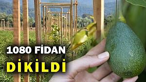 Ege Bölgesi avokado yetiştirecek... Kivi tuttu avokado neden olmasın...