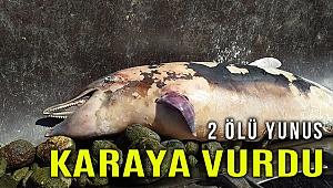 İzmir'de 2 ölü yunus karaya vurdu