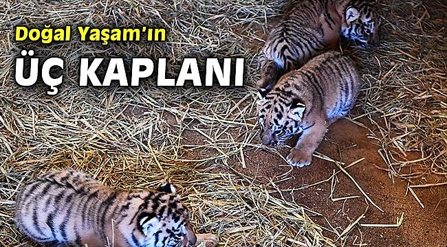 Doğal Yaşam Parkı'nda üç yavru kaplan daha doğdu