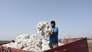 Germencik'te pamuk hasadı sürüyor