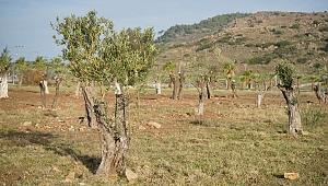 Temel kazısından çıkan ağaçlar yeni yaşam alanlarında
