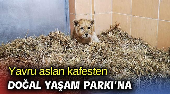 Yavru aslan kafesten kurtarıldı