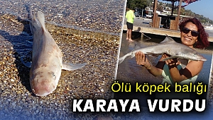 Bodrum'da ölü köpek balığı karaya vurdu