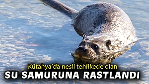 Kütahya'da nesli tehlikede olan su samuruna rastlandı