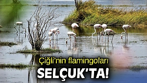Çiğli'nin flamingoları Selçuk'ta!