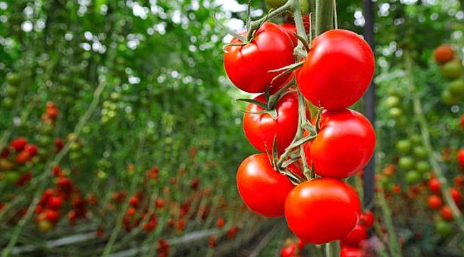 Rusya'nın Türk domatesi ve biberine güveni tam