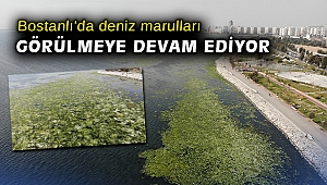 Bostanlı'da deniz marulları görülmeye devam ediyor