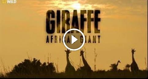 Afrika'nın Devi Zürafa