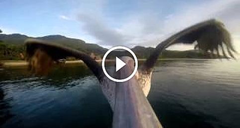 Uçmayı yeniden öğrenen pelikan